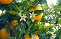 arancio_amaro_citrus_aurantium_2
