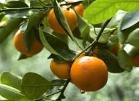 arancio_dolce_citrus_sinensis