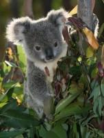 eucalipto_koala