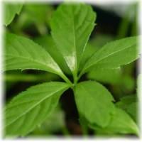 gynostemma-pentaphyllum-jiaogulan-plant_300